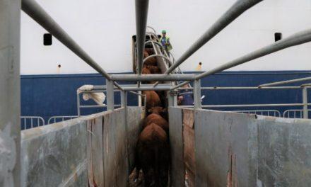 Porto de Imbituba realiza exportação recorde em número de cabeças de gado