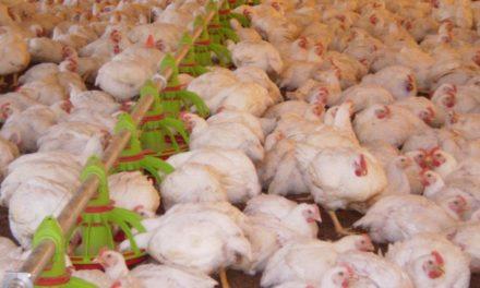 Hong Kong também suspende importação de frango