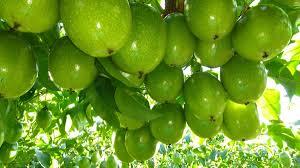 Santa Catarina é o terceiro maior produtor de maracujá do País