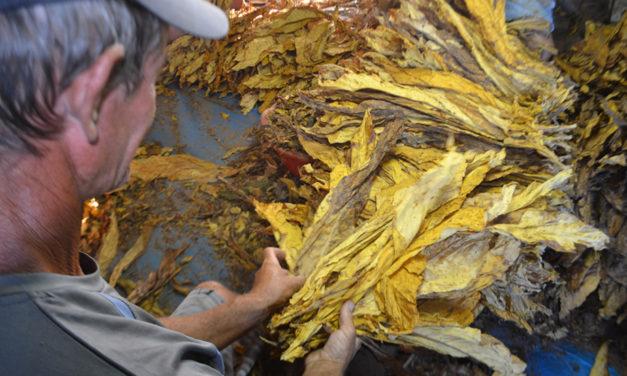 Produtor de tabaco poderá emitir nota fiscal manual nesta safra em SC