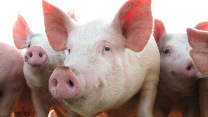 Recorde nas exportações de carne suína Catarinense