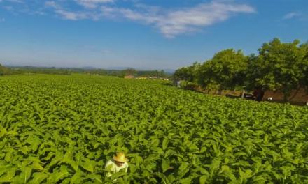 Produção Integrada do tabaco passa a ter novas regras