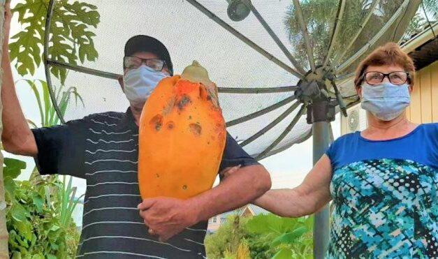 Morador de Siderópolis colhe mamão gigante no quintal de casa