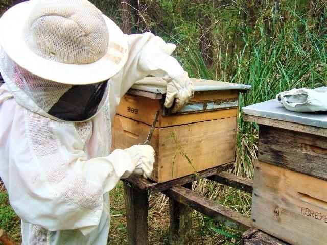 Terapia com própolis pode ser oportunidade de negócio para apicultores