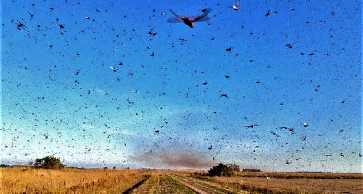 Argentina combate nuvem de gafanhotos e diminui quantidade da praga