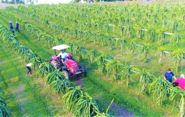 Santa Catarina inicia colheita de pitaia com previsão de crescimento de 30%
