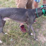Ação conjunta flagra corrida clandestina de cães e prisões são efetuadas por maus tratos em Araranguá