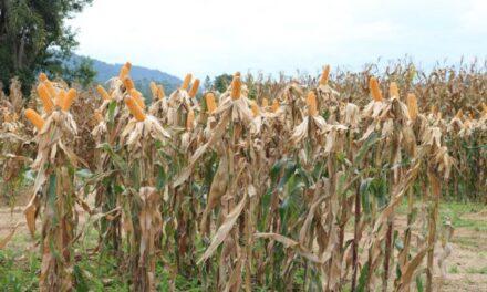 Produção de milho de SC teve quebra de 27% na última safra, diz Epagri